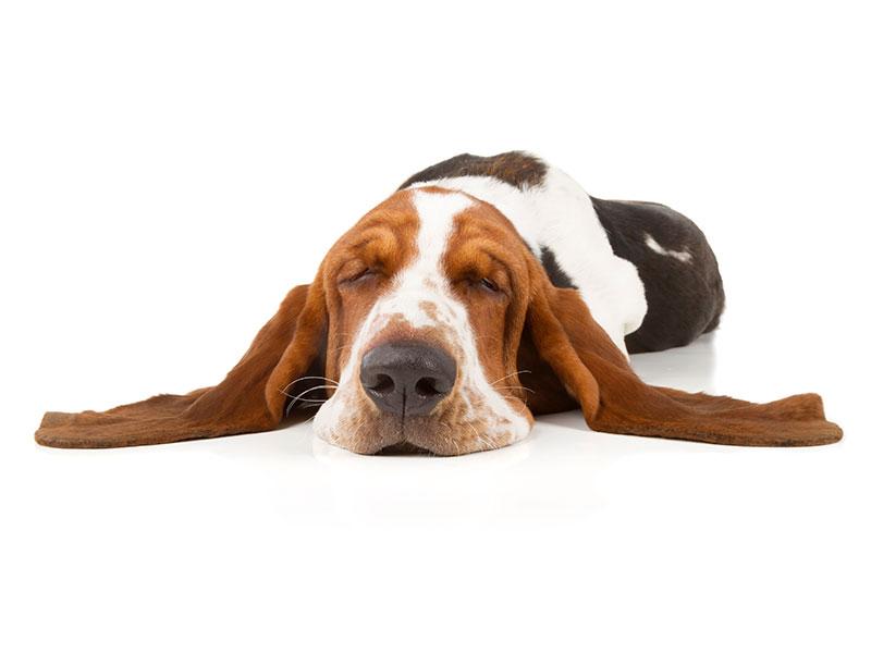 Sleeping dog: Pet Surgery in Austin