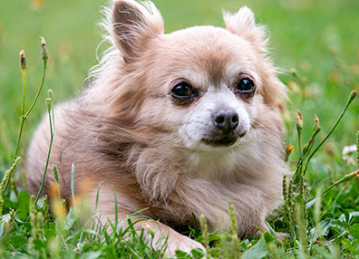 Chihuahua in grass: Spay and Neuter in Austin