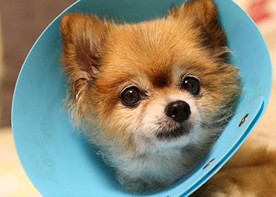 Dog with cone: Pet Surgery in Austin